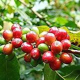 Chicchi di caffè Semi, 1 Cuscinone Perenne Seme Naturale Produttive seme del caffè albero per il giardino